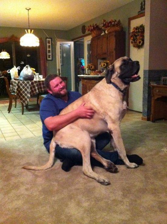 Большие собаки, которые считают себя маленькими